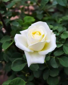 """0 Me gusta, 0 comentarios - juancho (@juancho_a_g) en Instagram: """"Unas de las flores que más me gustan por su elegancia y belleza #fotonovato #fotoamateurchile…"""""""