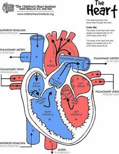 Heart diagram from The Children's Heart Institute (childrenheartinst. Human Heart Diagram, Circulatory System For Kids, Heart Institute, Heart Anatomy, Human Body Systems, Human Anatomy And Physiology, Anatomy Study, Heart For Kids, Nurse Life
