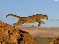 Piedra del Aguila.-: Exigen frenar matanza de pumas en la Patagonia