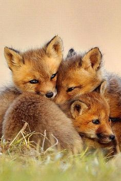 Foxes live in the forest near my farm,