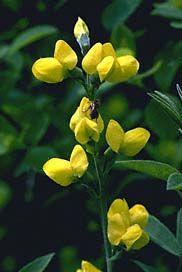 Baptisia tinctoria - Baptisie teintée - Wild Indigo