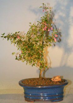 Flowering Dwarf Fuchsia Bonsai Tree (encliandra isis)