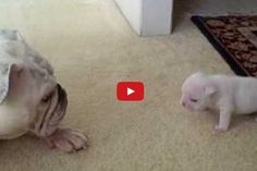 Feisty little pup! When Elvis The Bulldog Puppy Talked Back To His Mommy I Nearly Fell Out Of My Chair! OMG!