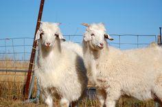 Kashmir goats