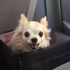 おでかけおでかけ  #通院なのよー #chihuahua #dog #dogoftheday #dogofthedayjp #dogsofinstagram #チワワ #ふわもこ部 #chihuahuadog #chihuahuaofinstagram #animal #onlychihuahua  #しっぽふぁさ部
