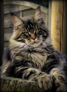 d4e2605ba8ab42f17917d458aa46c2f3.jpg 532×729 pixels http://www.mainecoonguide.com/how-to-tell-if-a-kitten-is-a-maine-coon/ #CatAndKittens