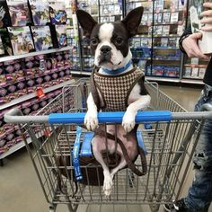 More About Bright Boston Terrier Puppies Temperament Baby Boston Terriers, Boston Terrior, Boston Terrier Love, Giant Dog Breeds, Giant Dogs, Terrier Breeds, Terrier Puppies, Pugs, Dog Life