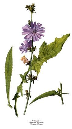 A faj kettős latin neve:Cichorium intybus Magyar név:mezei katáng Család:Asteraceae Alcsalád: Cichorioideae Rend:Asterales Életforma:H (TH) Termés:kaszat