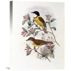 Global Gallery 'Ramsay's Thickhead' by John Gould Painting Print on Wrapped Canvas Size:
