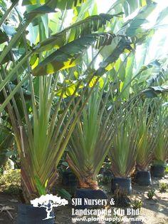 P011004Ravenala Madagascariensis(Traveller's Palm)