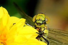 Animals in Zevenaar, Netherlands (beware dragonfly insect macro) - a photo by gerjan