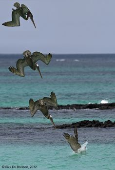 pelican diving | ... > Rick Du Boisson > Photos > Galapagos > Plunge-diving brown pelican