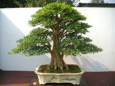 Bonsai Plants, Bonsai Garden, Bonsai Trees, Murraya Paniculata, Tree Forest, Small Trees, Ikebana, House Plants, Garden Design