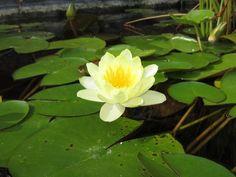 The magic of water lilies in a Lexington Kentucky garden.
