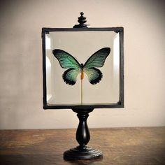 Zalmoxis Vlinder in Vitrine