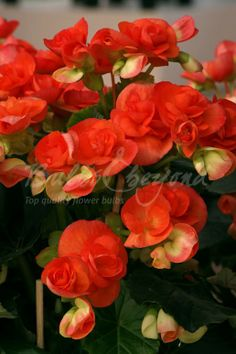 Buy double-flowered Begonia bulbs online from Bulbs & beyond! Order these beautiful double-flowered orange begonia tubers. Check out great online begonia deals. Unusual Flowers, Beautiful Flowers Garden, All Flowers, Pretty Flowers, Beautiful Gardens, Summer Flowering Bulbs, Flowering Trees, Different Kinds Of Flowers, Flower Quotes