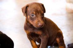 www.elitek-9.com  #doberman, #protectiondogs, #CEO, #militaryk9, #exotics Doberman Pinscher, Exotic Cars, Labrador Retriever, Puppies, Dogs, Animals, Labrador Retrievers, Cubs, Animales