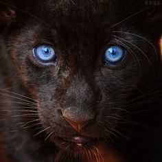 If this panther had gold eyes, it would look just like one of my cats.