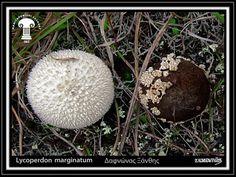 Lycoperdon marginatum Vittad.