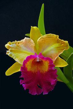 Cattleya Men Ong Wei Mo #orchids #FlorEcuador #Ecuador #Ecuagenera