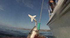 Shark photobombs other shark off coast of South Africa | News  - Home