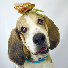 English Coonhound is not a breed you will typically find in a shelter in sunny South Florida but meet King  (ID 573865)! He is a 5-year-old English Coonhound mix who is up for adoption at the Humane Society of Broward County and is this weeks JR Dunn sponsored Diamond in the Ruff  King was turned in by his owner who had him for three years but had some issues relocating. The staff and volunteers at HSBC absolutely love this goofy guy!  Not only is he housebroken (he goes out 1x a day and…