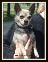 Cochise is an adoptable Chihuahua Dog in Cincinnati, OH. Cochise is a male Chihuahua Mix that came from Owensboro and was an owner surrender due to a new baby. In the shelter he was depressed and wou...