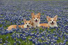 Flashback Friday: 16 Corgi Smiles Amongst Bluebonnets! - The Daily Corgi Pembroke Welsh Corgi Puppies, Corgi Mix, Cute Corgi Puppy, Corgi Pictures, Animal Pictures, Corgi Facts, Corgi Funny, Dog Lovers, Cute Animals