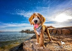 """And so it was said """"let there be a National Puppy Day!"""" And the masses cheered and squealed as their news feeds were filled with fabulous fuzzy faces  #doodle #dallasdoodles #goldendoodle @lonestardoodles #dfwdogs #dallasdogs #dogsofdallas #dogmomsofdallas #dallaspetphotographer #dallasdogphotographer"""