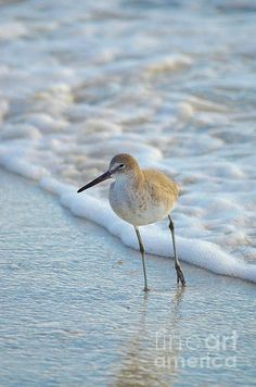 Sandpiper Taking A Stance