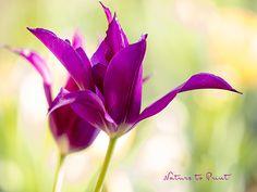 Lieblingstulpen Purple Dream