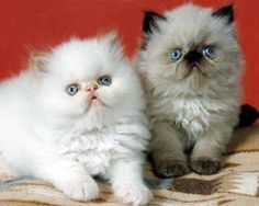 Flame Point and Seal Point Himalayan Kittens.
