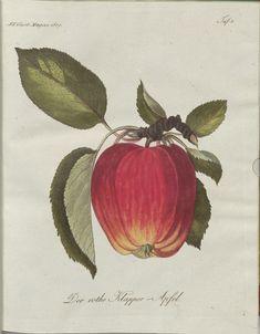 Der rothe Klapper-Apfel