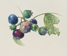 Connie Scanlon | American Society of Botanical Artists