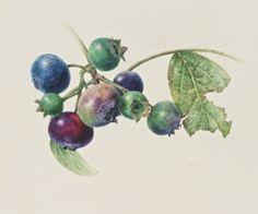 Connie Scanlon | American Society of Botanical Artists