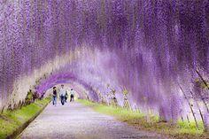 Nous connaissons la force des japonais pour la beauté et l'entretien de leurs jardins, voici un époustouflant exemple à Kitakyushu situé à 4 heures de Tokyo. Ce tunnel de glycines est composé de 20 espèces différentes offrant au visiteur une plongée dans un univers magique et multicolore. Plus