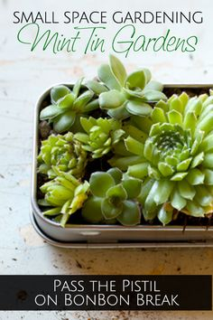 How to Make a Mint Tin Garden by Pass the Pistil - this easy DIY garden makes the perfect low maintenance succulent gift for a friend.