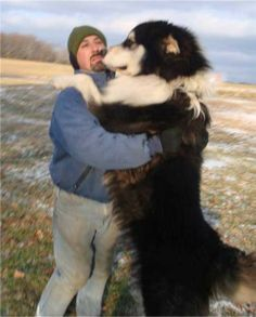 Giant alaskan malamute... Maybe I will invest when I move out there!!