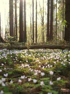 Spring forest in Sweden.