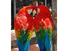 Fotos de espectaculares guacamayos escarlata listo.