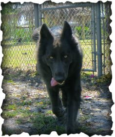 Blue bay German Shepherd   Jordan is a solid blue, purebred German Shepherd from Legend of ...