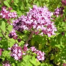 Bildresultat för blomma kungsmynta