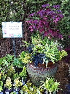 Japanese Maple In Container | ... Pot Centred Around a Japanese Maple | AT MAY MAPLE MANIA SPECIAL EVENT