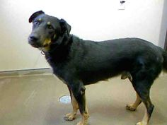 *AUDI - ID#A729167  Shelter staff named me AUDI.  I am a male, black and brown German Shepherd Dog mix.  The shelter staff think I am about 2 years old.  I have been at the shelter since Jul 20, 2013.
