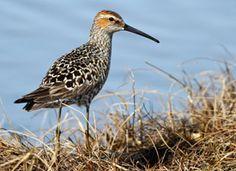 Stilt Sandpiper, Identification, All About Birds - Cornell Lab of Ornithology