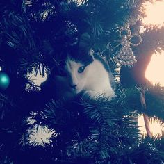 Max found out he fits in the Christmas tree  #catsofinstagram #catinachristmastree #christmastree #cat
