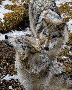"""beautiful-wildlife: """" Brother and Sister Wolves by Larry Gambon """" Wolf Spirit, Spirit Animal, Wolf Pictures, Animal Pictures, Beautiful Creatures, Animals Beautiful, Animals And Pets, Cute Animals, Wild Animals"""