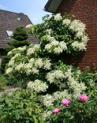 Kletterhortensie - Hydrangea petiolaris. Für Sichtschutzzaun. Macht angeblich den Zaun nicht kaputt. Blüten oft erst im 4. oder 5. Jahr. Nicht zu viel düngen.