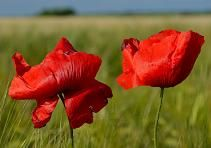 Since poppies grow abundantly within and around the war cemeteries in Northern France and Belgium, the flower has come to be the symbol of mourning and respect for those who have died or suffered during wars and conflicts across the world.