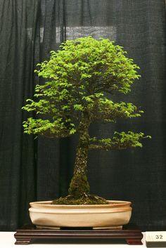 Ulmus parvifolia Corkbark Chinese Elm Age: ~ 20 years In training: 12 years Pot: Chinese Roger Krauss